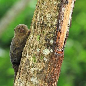 Mono leoncito, el más pequeño de la Amazonía.