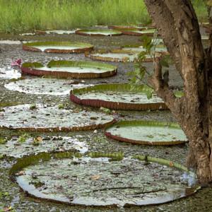 Victoria Regias, de las plantas más llamativas en toda la Amazonía. En Puerto Prado tienen muchas.