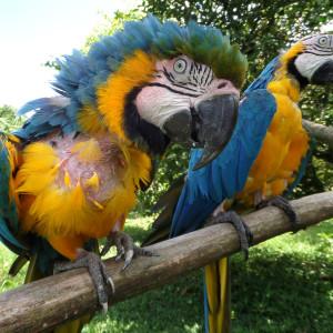Guacamayos enfermos, rescatados del tráfico de fauna. Foto: Noga Shanee / NPC
